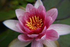 Red Water Lily by Desirae