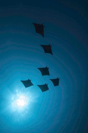 https://imgc.allpostersimages.com/img/posters/devil-rays-mobula-japonica-viewed-from-below-south-ari-atoll-maldives_u-L-Q13A7NI0.jpg?artPerspective=n