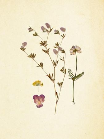 French Herbarium 2 by Devon Ross