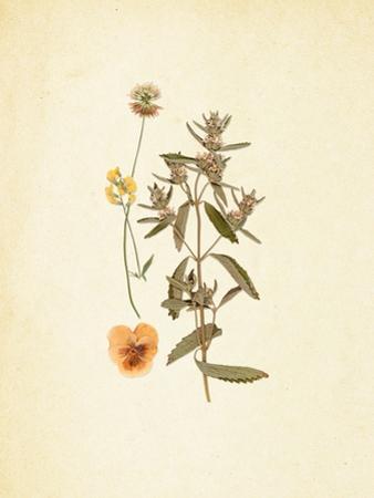 French Herbarium 3 by Devon Ross