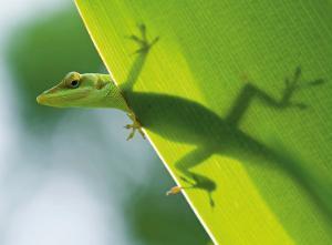 Here's Looking at You Kid, Hawaiian Green Gecko by Devon Stevens