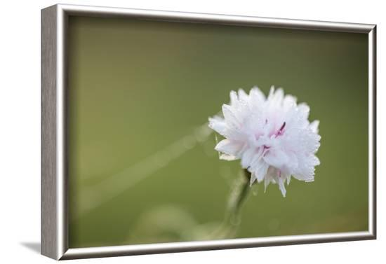 Dew drops on petals of cornflower, bokeh background-Paivi Vikstrom-Framed Photographic Print
