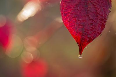 https://imgc.allpostersimages.com/img/posters/dewdrop-on-red-leaf-on-a-colorful-background-with-bokeh_u-L-Q1EXWAX0.jpg?artPerspective=n