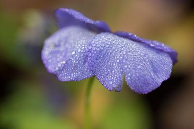 https://imgc.allpostersimages.com/img/posters/dewdrops-on-a-petal-of-pansy_u-L-Q1EXZAT0.jpg?artPerspective=n