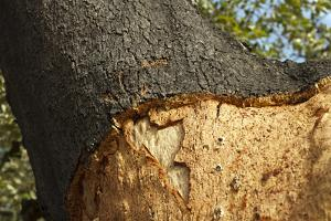A Corkwood Tree by Deyan Georgiev