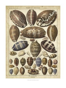 Cowrie Shells I by Dezallier