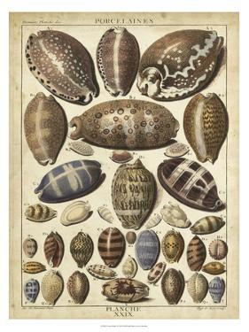 Cowrie Shells I by Dezallier