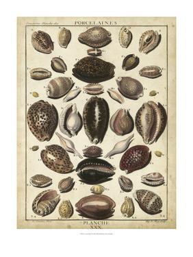Cowrie Shells II by Dezallier