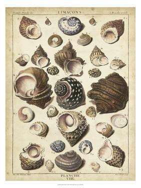 Turban Shells by Dezallier