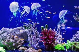 Beautiful Jellyfish, Medusa in the Neon Light with the Fishes. Aquarium with Blue Jellyfish and Lot by Dezay