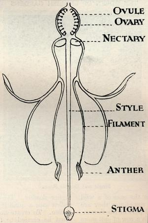 https://imgc.allpostersimages.com/img/posters/diagram-of-a-fuchsia-flower-showing-the-mechanism-employed-to-produce-seeds-c1934_u-L-Q1EF9KB0.jpg?artPerspective=n