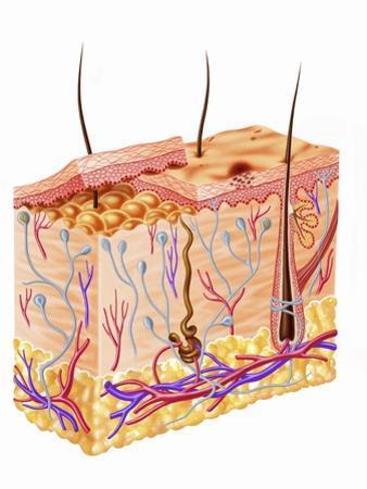 Diagram Showing Anatomy of Human Skin