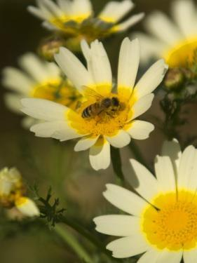 Bee Sitting on Wildflower, Naxos, Southern Aegean, Greece by Diana Mayfield