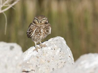 Burrowing Owl, Salton Sea Area, Imperial County, California, USA