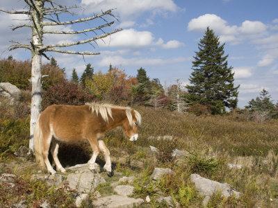 Wild Pony in Grayson Highlands State Park, Virginia, USA