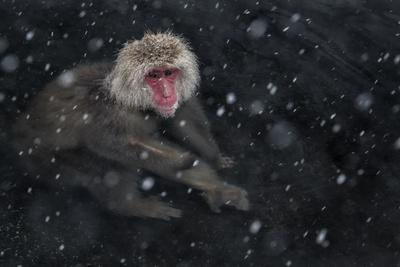 Japanese Macaque (Macaca Fuscata) Adult In The Hot Springs Of Jigokudani, In The Snow, Japan