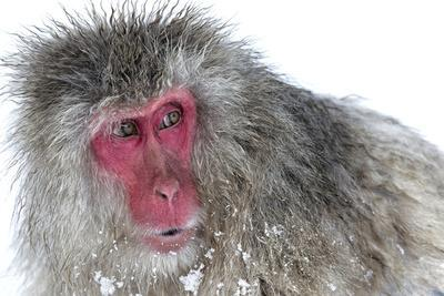 Japanese Macaque (Macaca Fuscata) Male Watching Another Male at the Monkey Park in Jigokudani