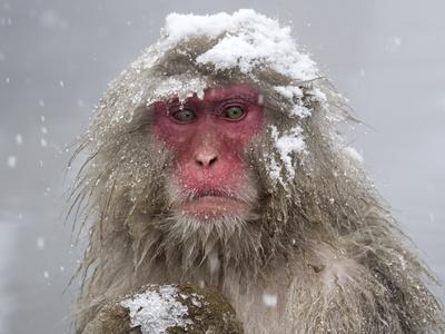 Japanese Macaque (Macaca Fuscata) Mother Holding Her Baby In Snowstorm, Jigokudani, Japan