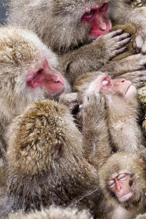Japanese Macaque (Macaca Fuscata) Mothers Grooming Their Babies In The Hot Springs Of Jigokudani