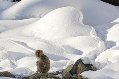 Japanese Macaque (Macaca Fuscata) Perched On The Open Warm Section Of A Rocky Hillside