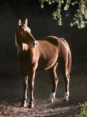 Brown Horse Standing on Trail by Tree by Diane Miller