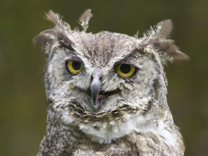 Close-Up of an Owl by Diane Miller