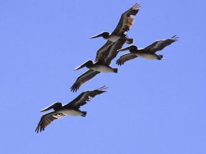 Four Brown Pelicans Flying in Formation, North of San Francisco by Diane Miller