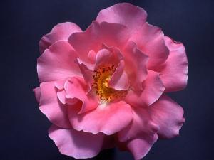 Pink Rose, Close-Up by Diane Miller