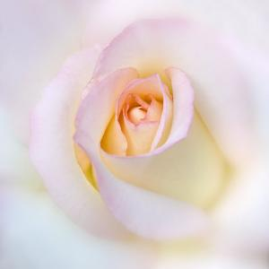 Rose by Diane Miller