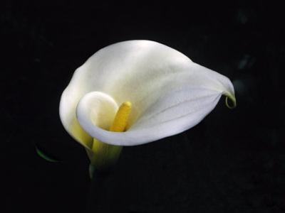 White Calla Lily, Zantedeschia Aethiopica
