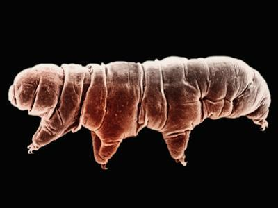 A Tardigrade or Water Bear, Macrobiotus, from Roan Mountain, Tennessee, Phylum Tardigrada, SEM by Diane Nelson