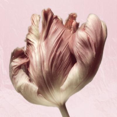 Burgundy Tulip 1
