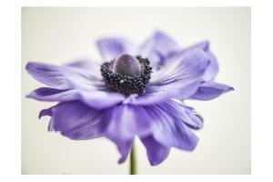 Purple Anemone 3 by Dianne Poinski