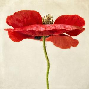 Red Poppy 2 by Dianne Poinski