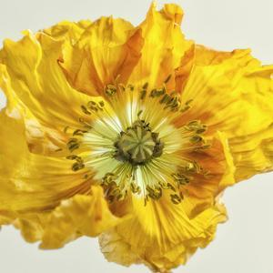 Yellow Poppy 1 by Dianne Poinski
