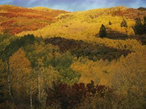Autumn View of Aspens, Oaks, and Evergreens by Dick Durrance