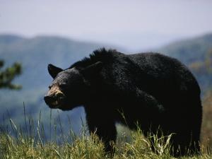 Black Bear by Dick Durrance