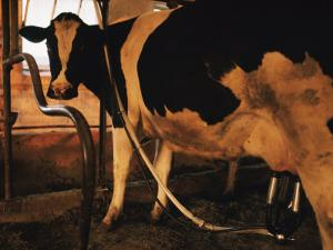 Dairy Cow Being Milked by Dick Durrance