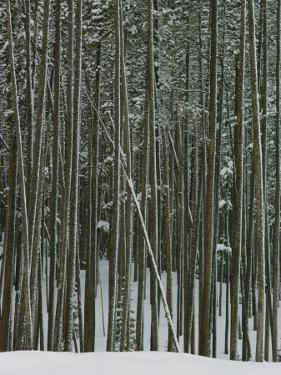 Lodgepole Pine in the Snow by Dick Durrance