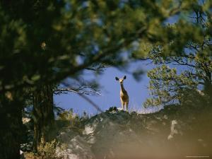 Mule Deer Looking Down at the Camera from a Ridge by Dick Durrance