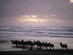 Roosevelt Elk Walk Along a Beach in California by Dick Durrance