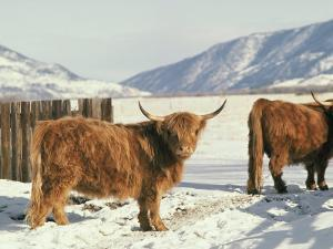 West Highland Cattle by Dick Durrance
