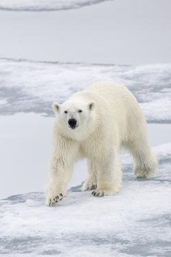 Polar Bear (Ursus maritimus) adult, walking on sea ice, Spitzbergen, Svalbard by Dickie Duckett