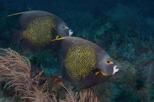 Pair of French Angelfish Pomacanthus Paru by Dickson Images