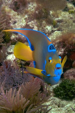 Queen Angel Angelfish Holacanthus Ciliaris, Florida Keys National Marine Sanctuary, Key Largo Flori by Dickson Images