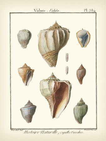 Volute Shells, Pl.384