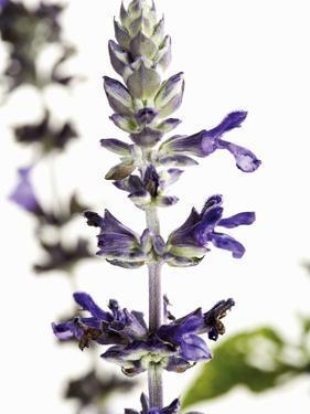 Flowers of Salvia Speciosa by Dieter Heinemann