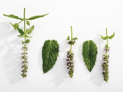 Peppermint (Leaves and Flowers)