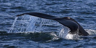 Humpback Whale (Megaptera Novaeangliae) Whale Watching, HáSavik, Iceland, Europe