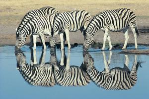 Burchells Zebra (Equus Burchelli) Drinking at Waterhole, Etosha, Namibia by Digital Vision.